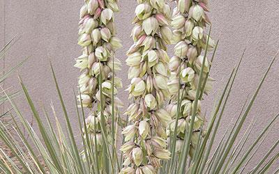 Soapweed Yucca, Yucca glauca