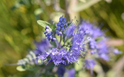 Blue Mist Spirea, Caryopteris clandonensis