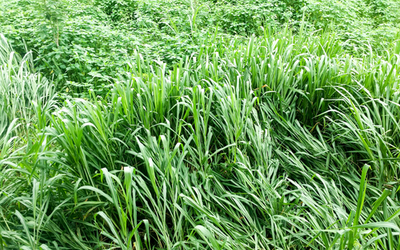 Buffalo Grass, Bouteloua syn buchloe dactyloides