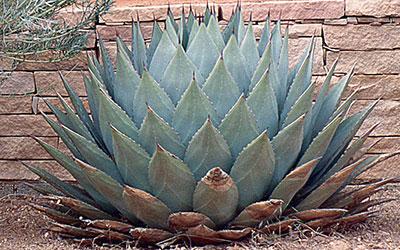 Parry's Century Plant, Agave parryi