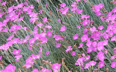 Garden Pinks, Dianthus gratianopolitanus