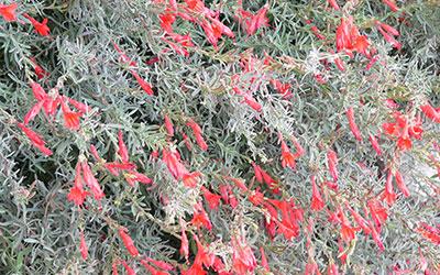 Hummingbird Plant, Epilobium syn zauschneria