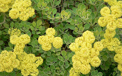 Wild Buckwheat, Eriogonum species