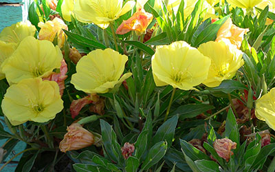 Yellow Evening Primrose, Oenothera macrocarpa syn missouriensis
