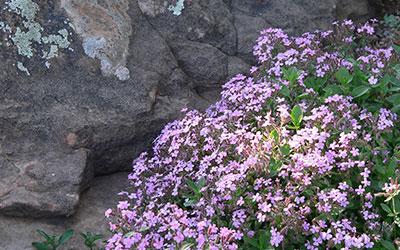 Soapwort, Saponaria oxymoides
