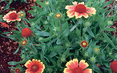 Indian Blanketflower, Gaillardia grandiflora