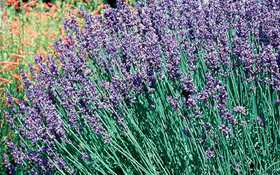 English Lavender, Lavandula angustifolia
