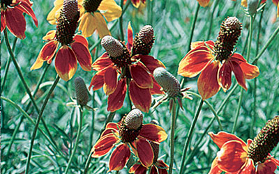 Prairie Coneflower, Mexican Hat, Ratibida columnifera