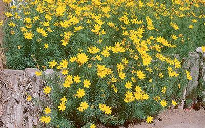 Threadleaf Coreopsis, Coreopsis verticillata