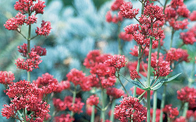 Red Valerian, Centranthus ruber
