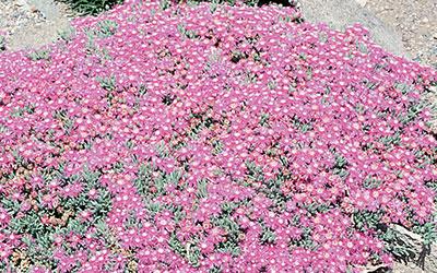 Hardy Purple Iceplant, Delosperma cooperi