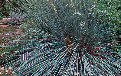 Blue Avena Grass, Helictotrichon sempervirens