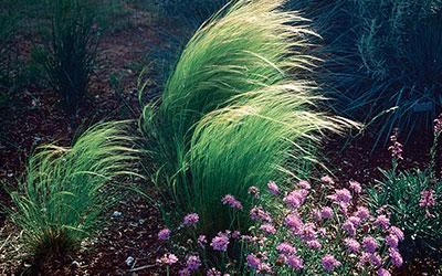 Silky Threadgrass, Nassella syn stipa tenuissima