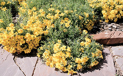 Prairie Zinnia, Zinnia grandiflora