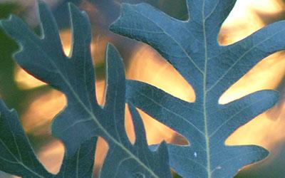 Oak, Quercus spp.