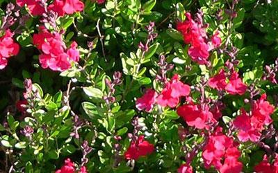 Autumn Sage, Salvia greggii