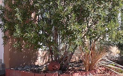 Arizona Rosewood, Vauquelinia californica