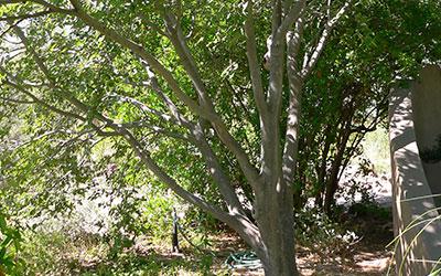 Netleaf Hackberry, Celtis reticulata