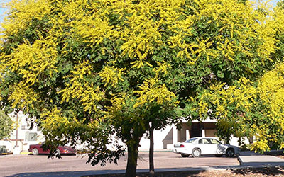 Golden Raintree, Koelreuteria paniculata