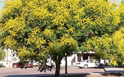 Golden Raintree, Koelreuteria paniculata