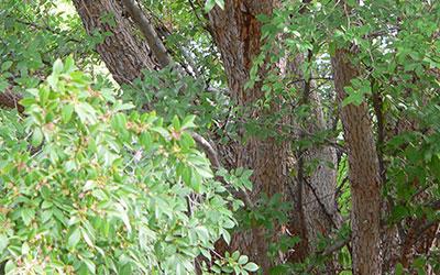 Lacebark Elm, Ulmus parviflora