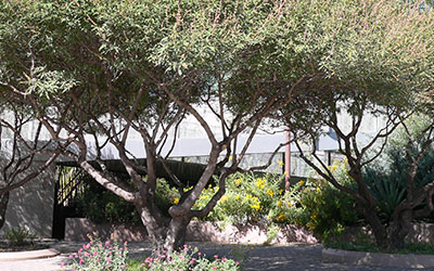 Vitex or Chaste Tree, Vitex agnus-castus