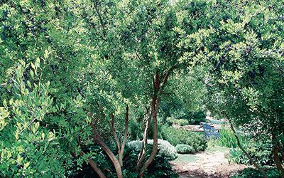 New Mexico olive, Forestiera Neomexicana