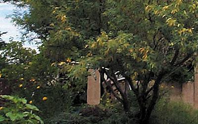 Velvet Mesquite, Prosopis velutina