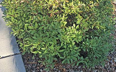 Pawnee Buttes® Sand Cherry, Prunus besseyi