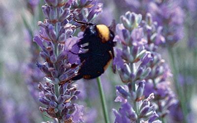 Summer Blooming Lavender