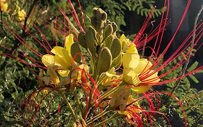 Yellow Bird of Paradise, Caesalpinia gilliesii