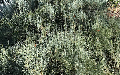 Joint-Fir, Ephedra species