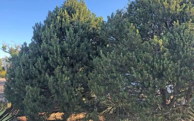 Pinon Pine, Pinus edulis