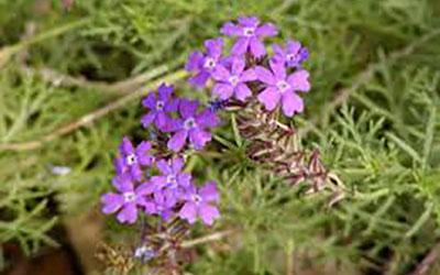 Verbena, Verbena peruviana