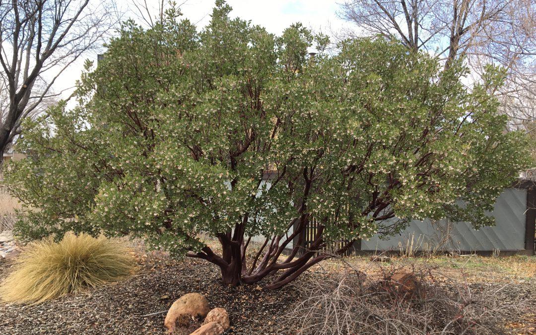Pointleaf Manzanita, Arctostaphylos pungens
