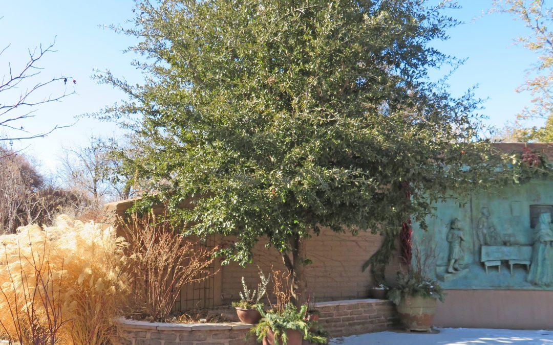 Escarpment Live Oak, Quercus virginiana var. fusiformis