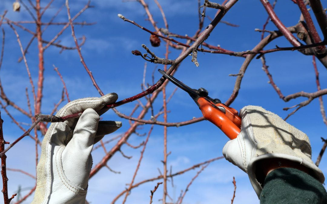 The Basics of Fruit Tree Pruning