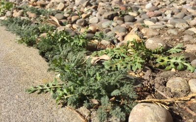 The Dirt on Albuquerque's Weeds