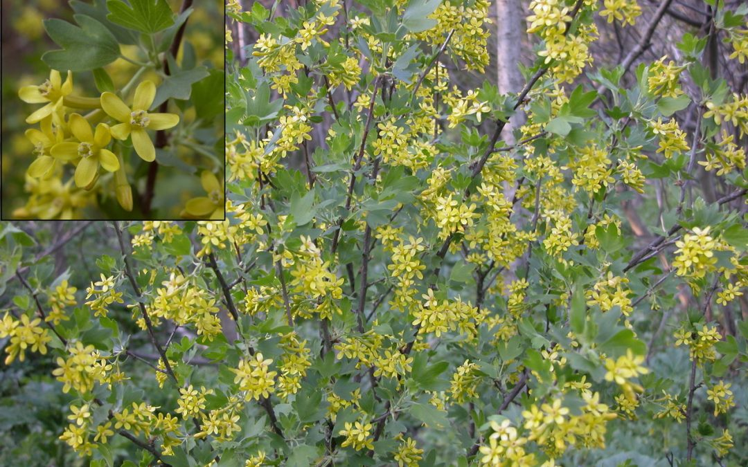 Golden Currant, Ribes aureum