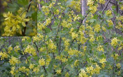 Golden Currant, Ribes aureum