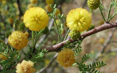 Whitethorn Acacia, Acacia constricta