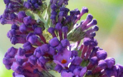 Dwarf Butterfly Bush, Buddleia davidii nanhoensis