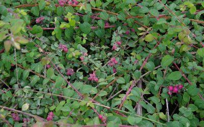 Coralberry, Symphoricarpos orbiculatus