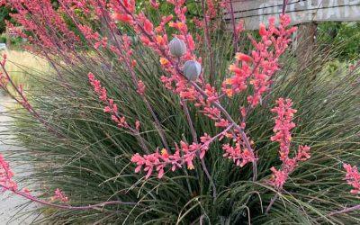 Red Yucca, Hesperaloe parviflora