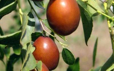 Zizyphus jujube, Zujube tree or Chinese date tree