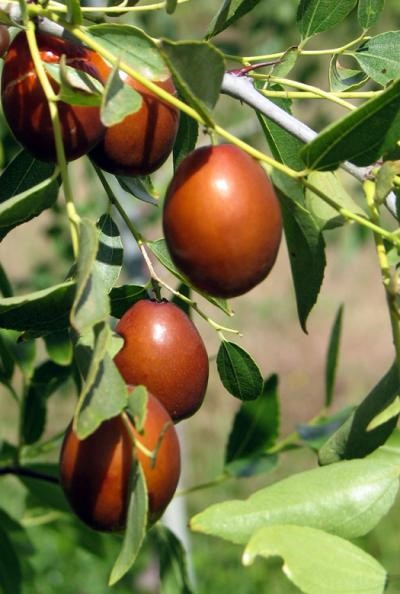 Zizyphus jujube, Zujube tree or Chinese date tree