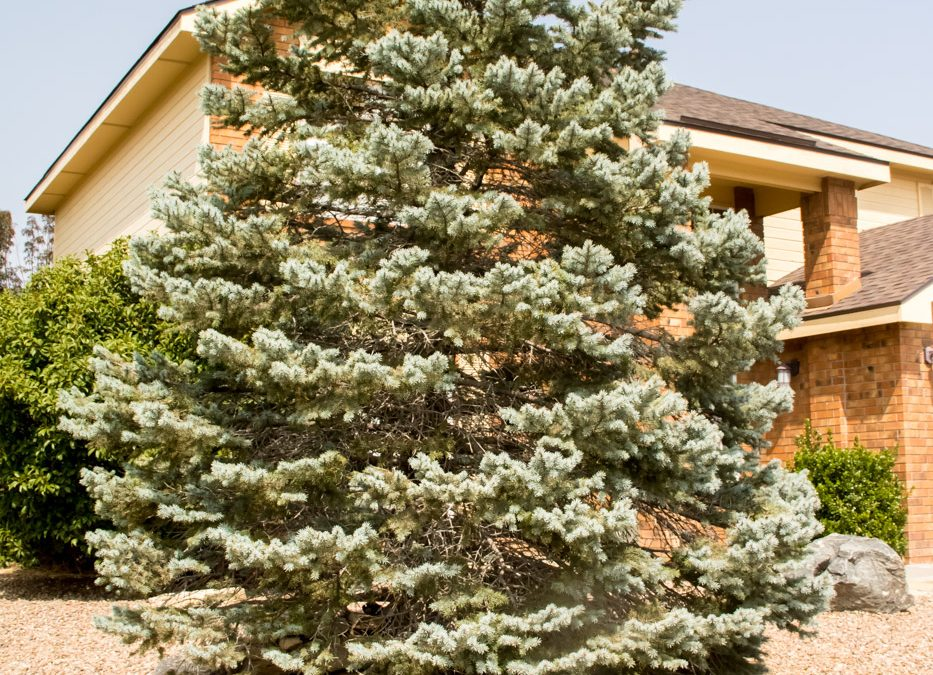 "Colorado Blue Spruce Fat Albert, Picea pungens ""Fat Albert"""