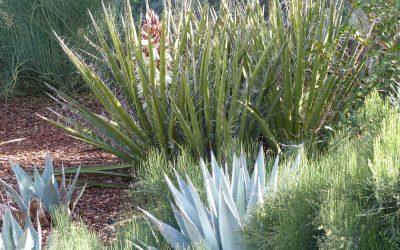 Yucca Baccata Compacta, Datil / Banana Yucca