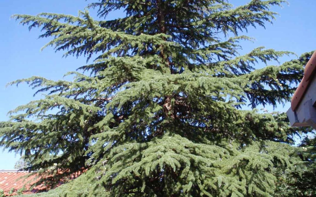 Plant Selection of the Month: Deodar Cedar, Cedrus deodara