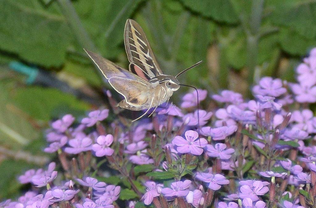 Sphinx moth, Genus Hyles Soapwort, Genus Saponaria